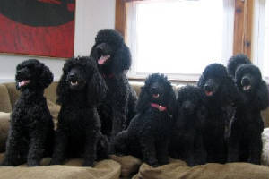 blackpoodles.jpg